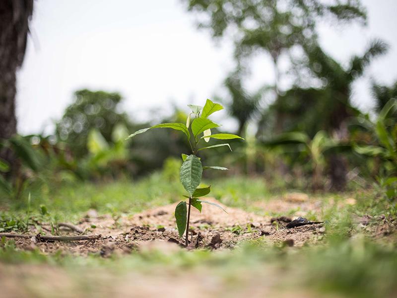 Cacao Forest promeut une culture durable du cacao